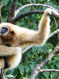 Gibbon Mamma and black baby attached