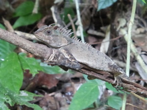 Three horned lizard