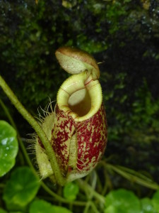 Carnivorous Pitcher Plant