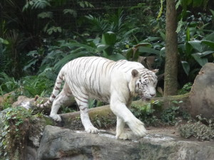 Endangered White Tiger - only 50 or so remaining
