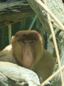 Proboscis Monkey - Singapore Zoo has a successful breeding program