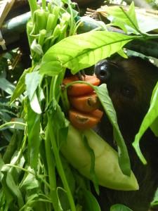 Feeding sloth