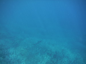 Blacktipped shark