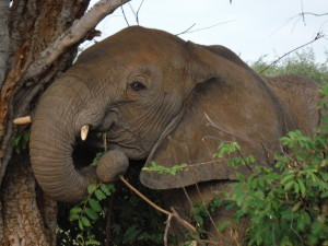 Elephant scratching on a tree